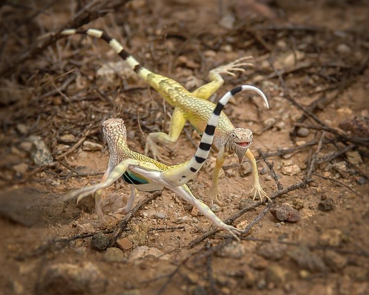 Zebra-tailed Lizards displaying