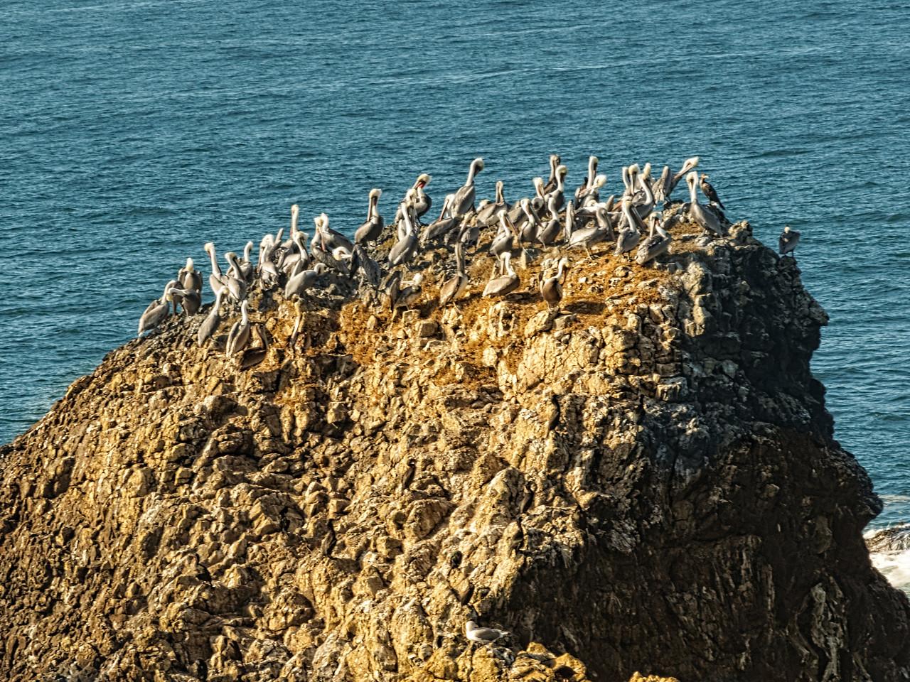 Seal Rock Pelicans