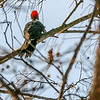 Pileated Woodpecker - rare in this area.