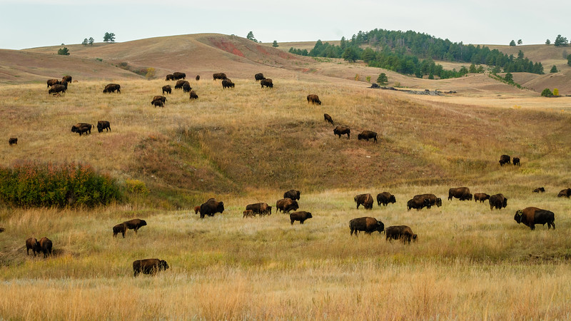 American Bison - Custer State Park, South Dakato