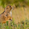 Prarie Dog - Custer State Park, South Dakato