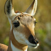 Pronghorn, female - Custer State Park, South Dakato