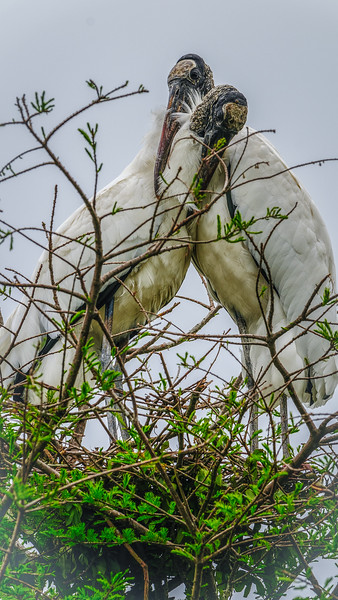 Wood Stork - St. Augustine, Florida, USA