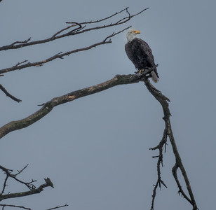 Bald Eagle at Tillamook Bay, Garibaldi, Oregon