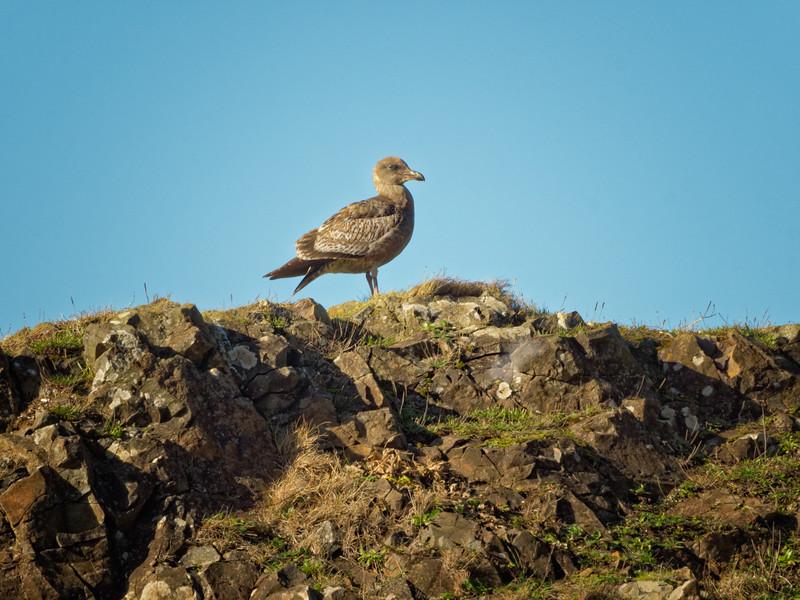 Seagull at Seal Rock