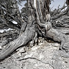 Ancient Bristlecone Pine - Root Detail