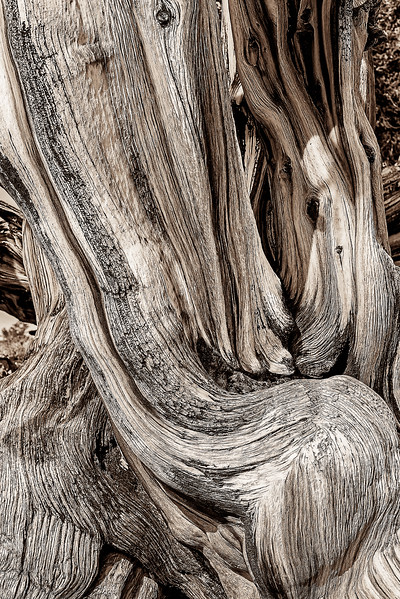 Ancient Bristlecone Pine - Trunk Detail