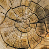 Ancient Bristlecone Pine - Ring Detail