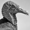 Black Vulture Portrait