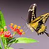 Giamt Swallowtail and Lantana ~ My Backyard ~ Fall