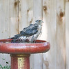 Coopers Hawk Bath ~ My Backyard ~ Summer