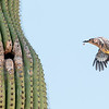 Gila Woodpecker and Saguaro ~ Sonoran Desert ~ Spring