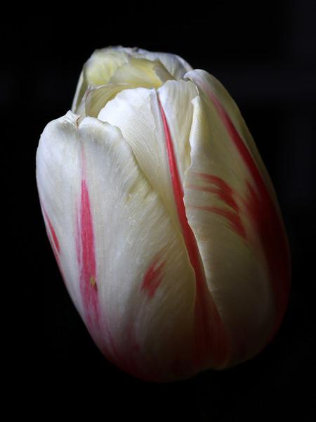 """""""White Tulip"""" (13.5""""x18"""" #2118) $97"""