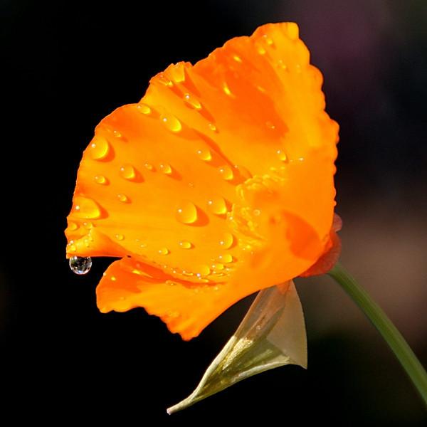 """Poppy Drop"" (#7722)"