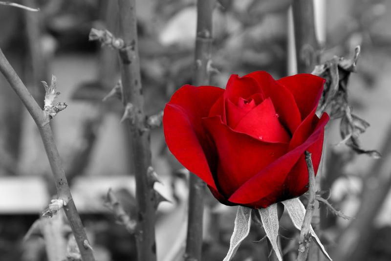 """""""Red Rose (Desat)"""" (#5636)"""