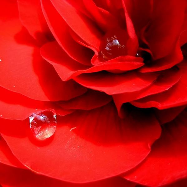 """Red Rose Drop"" (#0398)"