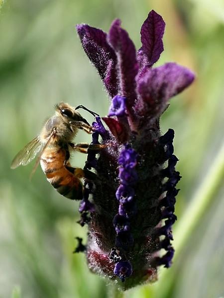 """Bee Purple"" (#0082)"