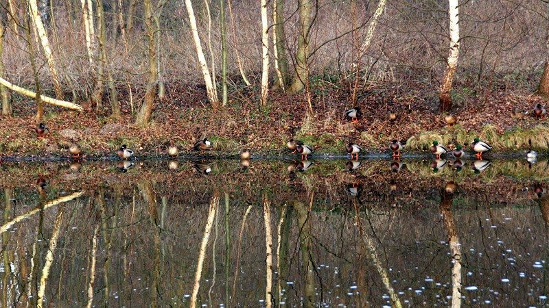 """""""Mirrored Ducks"""" (16.5""""x30"""" #8503) $198"""