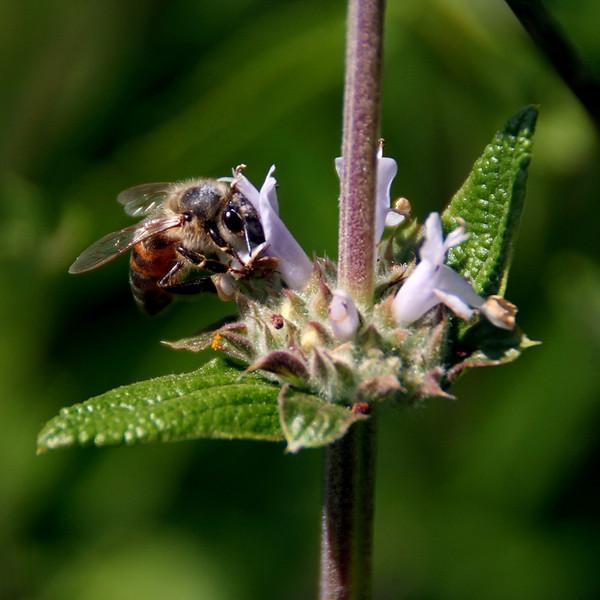 """""""Bee on Sage"""" (16""""x16"""" #3193) $102"""