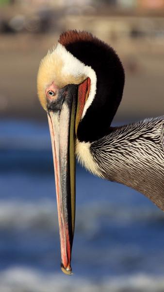"""""""Pelican"""" (20.25""""x36"""" #1228) $290"""