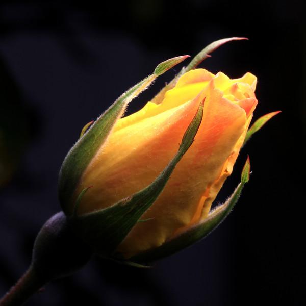"""Yellow Rose"" (18""x18"" #2981) $129"