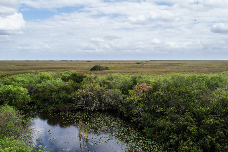 """This is a big alligator hole. As the alligators pushed muck and vegetation out of the hole, a low berm would have formed around the outside edge. Trees and shrubs that can't survive in the surrounding sawgrass marsh are able to grow on this """"high ground."""" Some alligator holes have been maintained for centuries by many generations of alligators."""