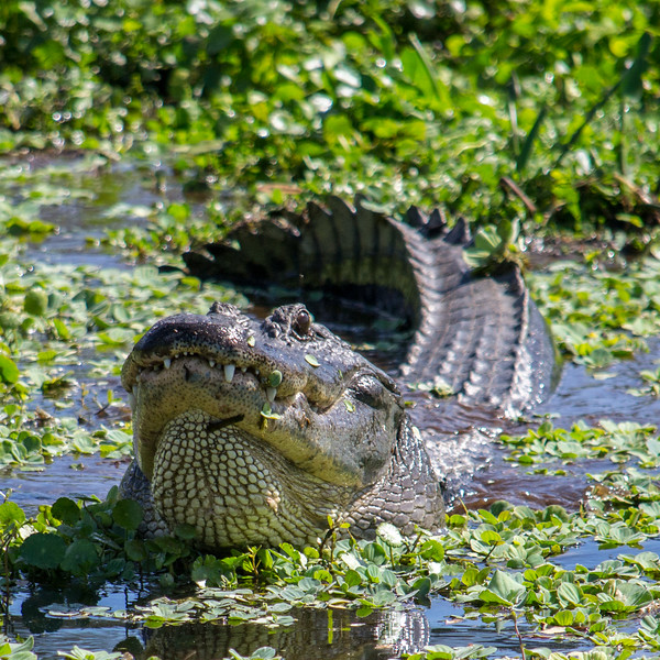 This alligator is bellowing for a mate. While you can't tell from the photo, I will say it was very, very loud, generating responding bellows from over 1/4 mile away.