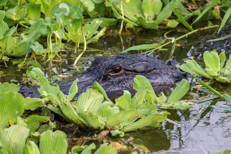 Alligator hiding among water plants near the water's edge.