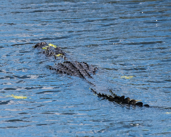 Alligator out for a leisurely swim.