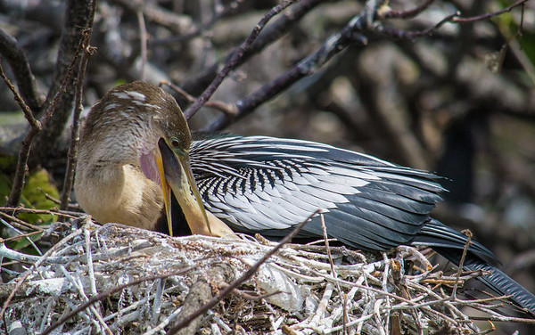 """Anhinga chick sticking its head into its father's throat to eat """"packaged food"""" stored in the crop."""