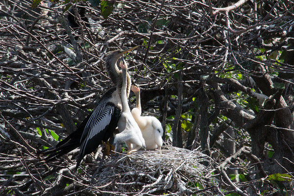 These older anhinga chicks are stretching their necks to touch their father's gular pouch.