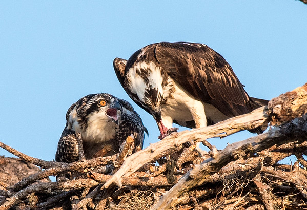 A hungry osprey chick anxiously anticipates a tasty morsel while its mother rips a little bit of meat off a fish.