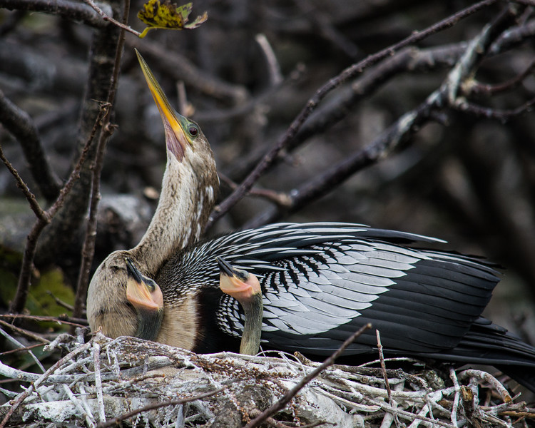 Notice the bit of skin pooching out under the chick's chins? That's the gular pouch. They are using it to signal they are hungry.