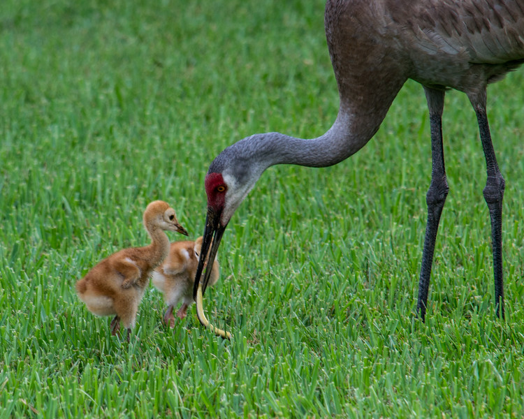 Sandhill cranes will eat just about anything they can peck out of the ground. This tasty critter looks like it would be too big for a chick to swallow whole.