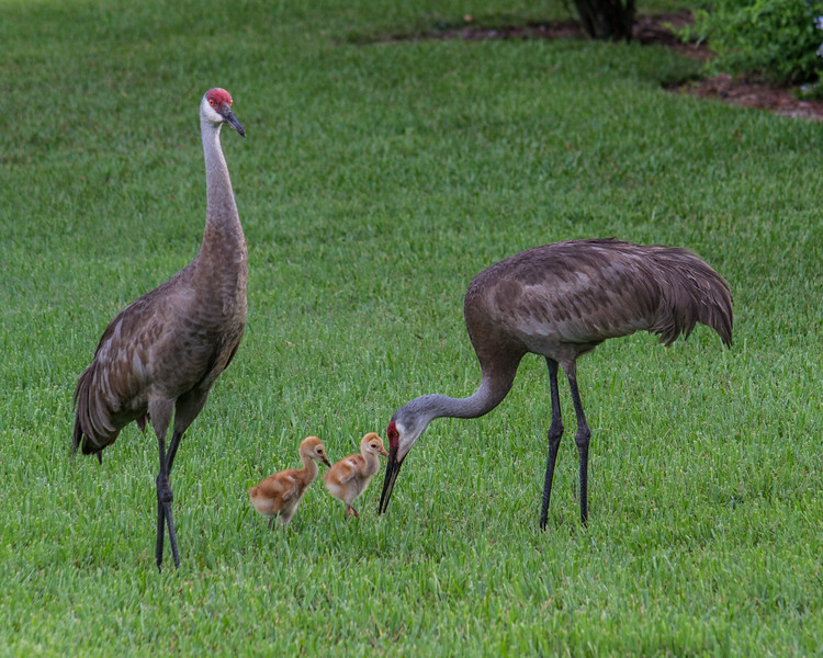 The Family Foraging strategy ensures sandhill crane chicks are well fed and protected by their parents.