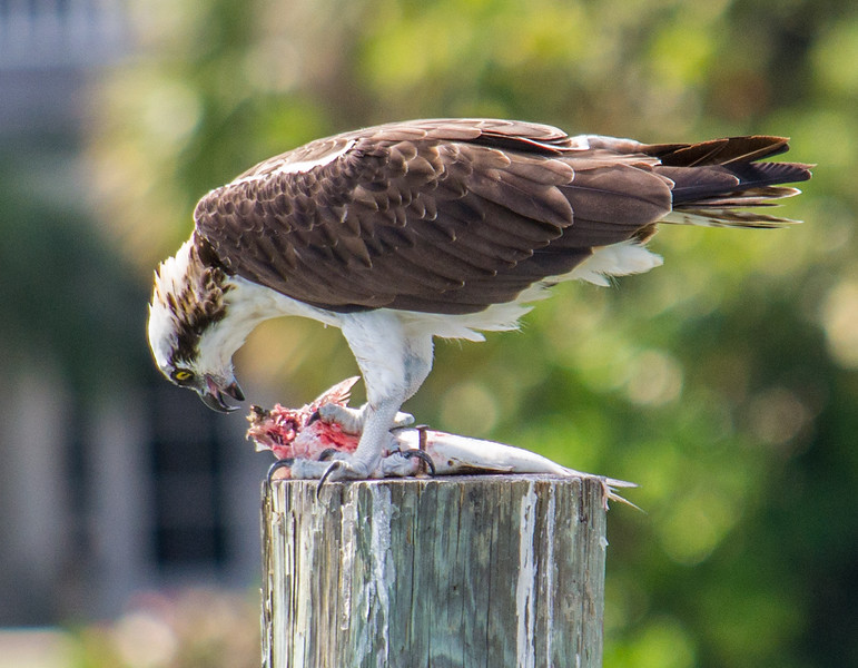 I know it seems crazy to think of birds as being in a family of ferocious meat-eaters, but modern raptors such as hawks, eagles and ospreys must look as ferocious as a T. rex to their prey.