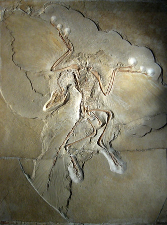 Archaeopteryx lithographica is considered the oldest bird in the dinosaur fossil record, going back 150 million years. You can barely make out the feather impressions in this fossil. (Photo by H. Raab, placed in Wikimedia.)