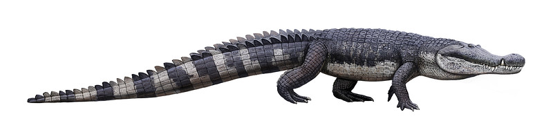 While most of the crodocilians that survived the mass extinction 200 million years ago stayed small, a few evolved into huge monsters. Deinosuchus is a good example. It was a force to be reckoned with 80-73 million years ago in the area that is now the southeastern United States. It basically looked like today's alligators - but much, much bigger. It was up to 35 feet long, weighed up to 6,000 pounds, and had a bite force greater than a T. rex. It hunted in the water where the big dinosaurs couldn't go, eating lots of turtles and fish. It also nabbed the occasional dinosaur that chose the wrong spot to get a drink of water. (Drawing by Andrey Atuchin, placed in Wikimedia.)