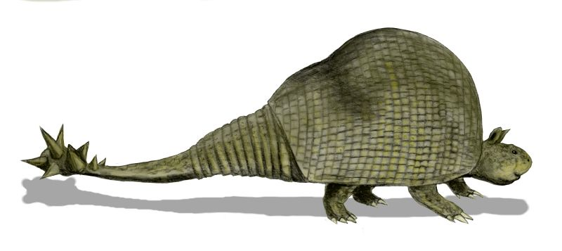The glyptodont - an extinct relative of living armadillos - was about 9 feet long and very heavily armored, including a spiked knob at the end of its tail for thwacking its predators. I would not want to see that in my back yard! (Drawing © N. Tamura, placed in Wikimedia.)