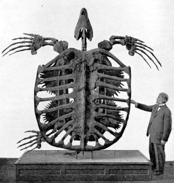There were lots of turtles around during the days of the dinosaurs. The biggest one - the Archelon - was 10 feet long and had a 13 foot flipper span. It had a bony framework for protection instead of a solid shell. Otherwise, it would have been so heavy it would have sunk like a rock. (Photo by Frederic A. Lucas, placed in Wikimedia.)