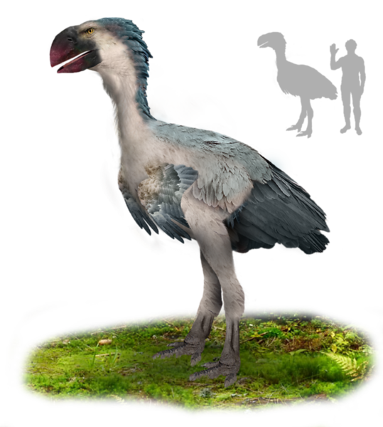 Gastornis was a huge, flightless bird that lived 55-45 million years ago. Note how it related in size to humans (but of course there were no actual humans way back then). Gastornis is related to the waterfowl we see today. (Drawing by Tim Bertelink, placed in Wikimedia.)