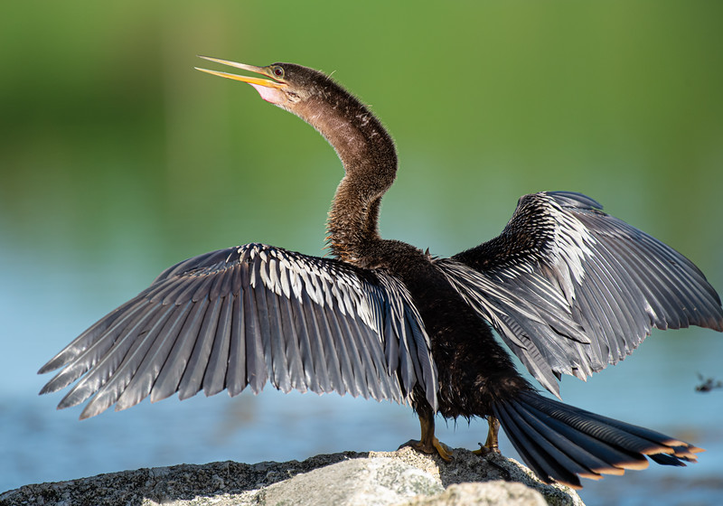 When anhingas spread their wings to warm up, they almost always have their back to the sun to maximize the amount of heat their wings can absorb.