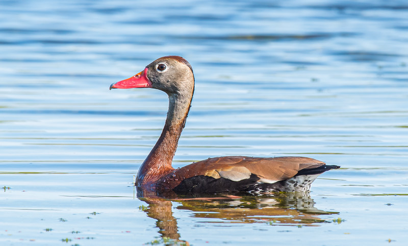 This black-bellied whistling duck has been dabbling for food below the surface of the water. Water is beading up on its back and neck thanks to water resistant feathers.