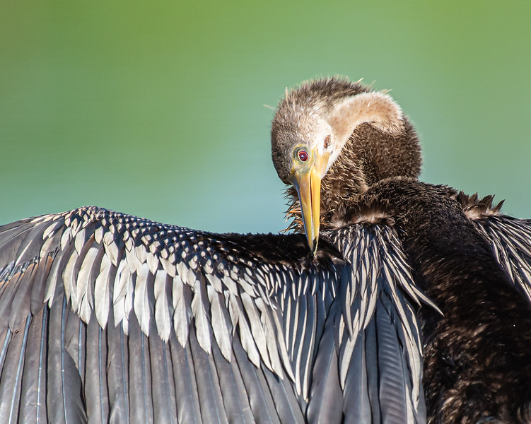 Anhinga applying preen oil to a feather on her wing.