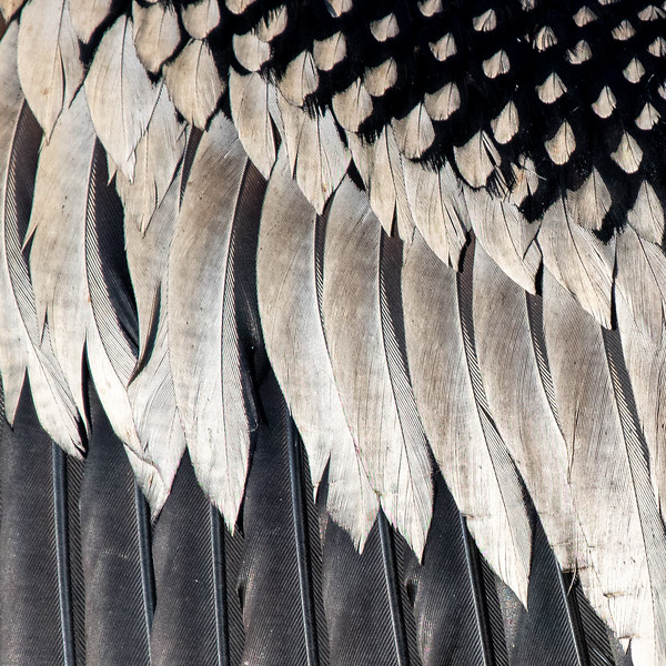 Close-up of feathers on an anhinga's wing. The rachis and barbs are visible on each feather, but the barbules and hooklets are too small to be seen.