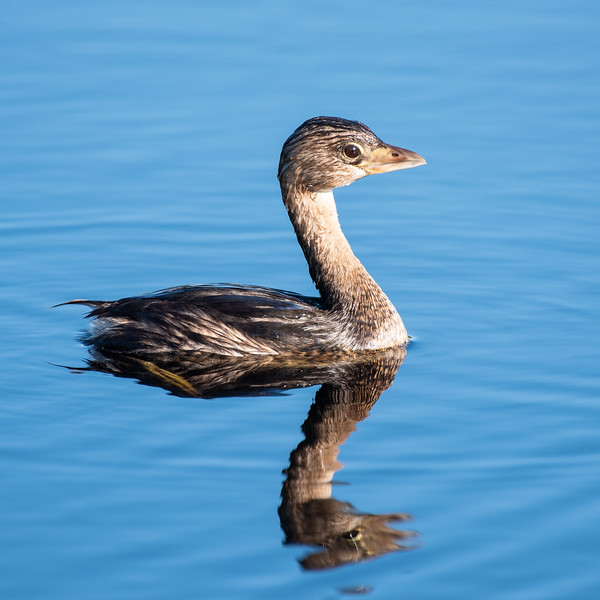 This pied-billed grebe has been diving for food. You can see it is soaking wet. Water does not roll off this bird's back!