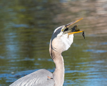 Eventually it will start to go down your throat. By the way, don't worry if you get some algae stuck on your beak. It's a little embarrassing, but unavoidable.