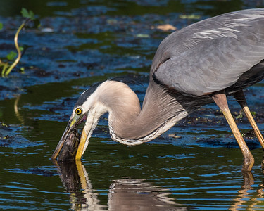 If you do happen to drop it, quickly pull it out of the water again. It probably can't swim away at this point, but keep a watchful eye out for other birds that might want to steal your fish.
