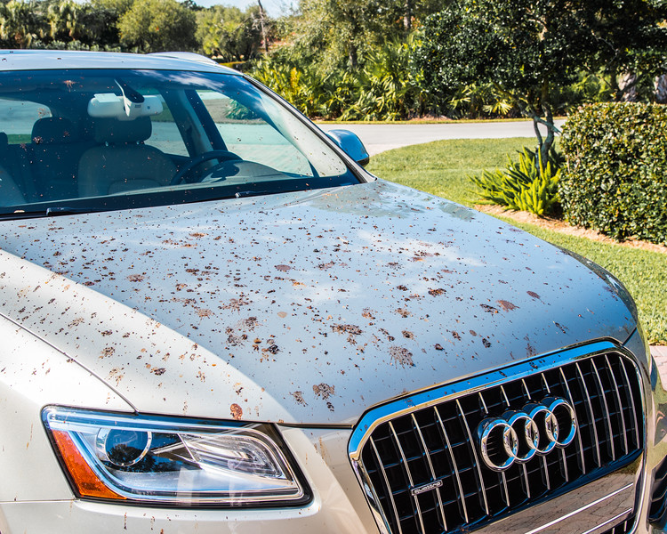 The next time my car gets covered in bird droppings, I won't get angry, I'll just celebrate the digestive miracle that happened in the trees above. Incredibly, birds that eat berries are able to digest their meal in about 30 minutes - down the hatch, fully processed, and onto the hood of my car. How could I get mad at something as amazing as that?