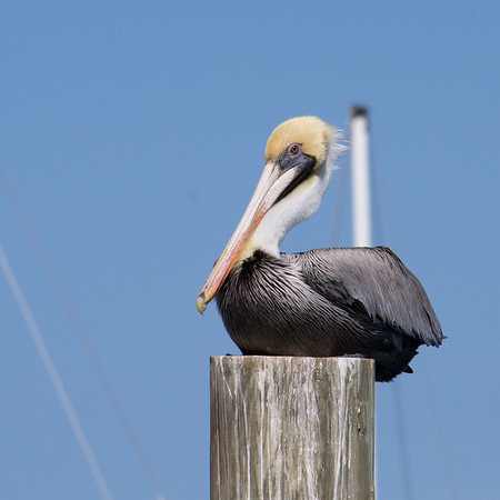 Usually seen only along the coast, brown pelicans have been known to show up a thousand miles inland after a storm. What a surprise it would be to find a pelican in your back yard in Tennessee!